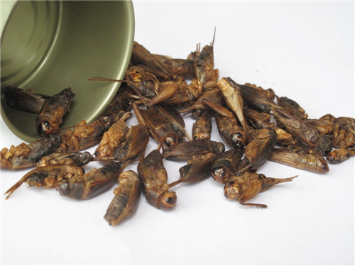 罐zhuang蟋蟀